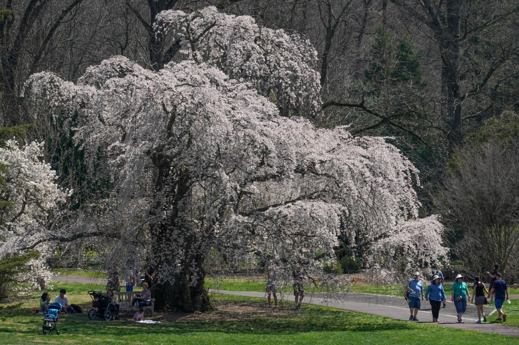 Cherry blossoms at the Morris Arboretum.