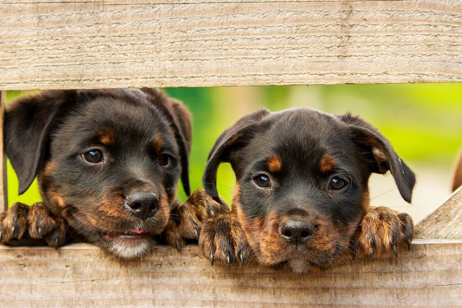 Rottweiler puppies looking through a fence