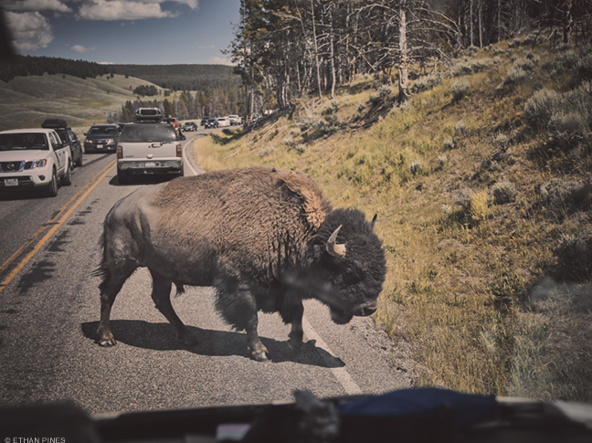 Photo of bison crossing highway by Ethan Pines